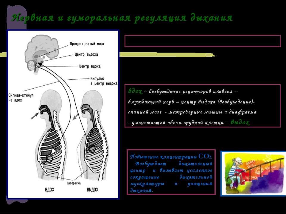Нервная и гуморальная регуляция дыхания вдох – возбуждение рецепторов альвеол...