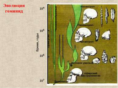 Эволюция гоминид 107 106 105 104 Время, годы Дриопитек Человек умелый Архантр...