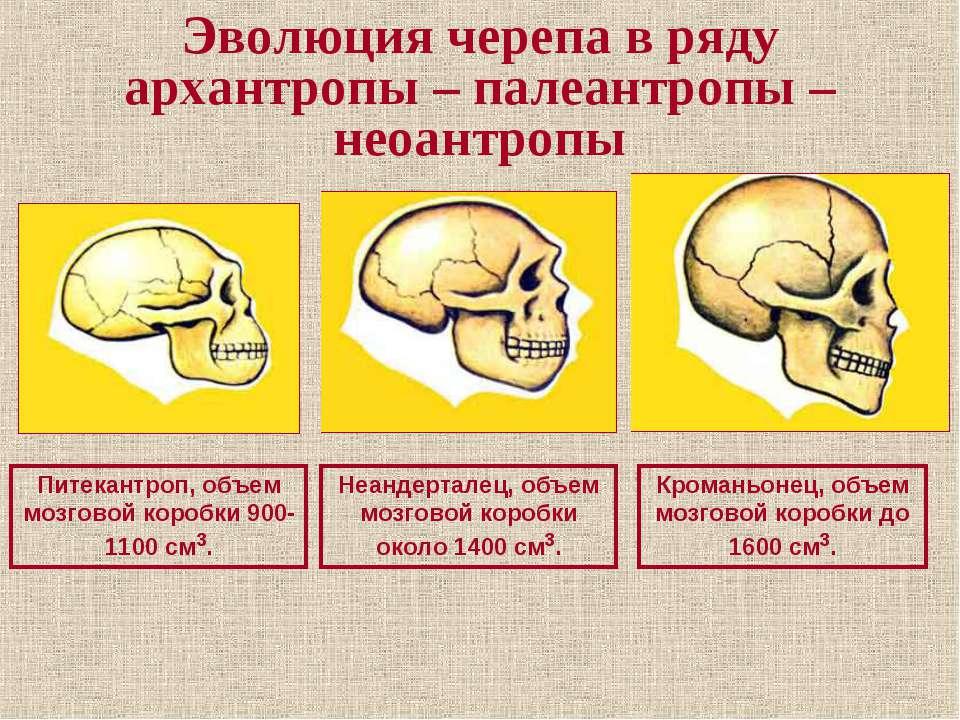 Эволюция черепа в ряду архантропы – палеантропы – неоантропы Питекантроп, объ...