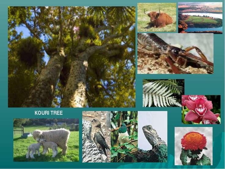 KOURI TREE