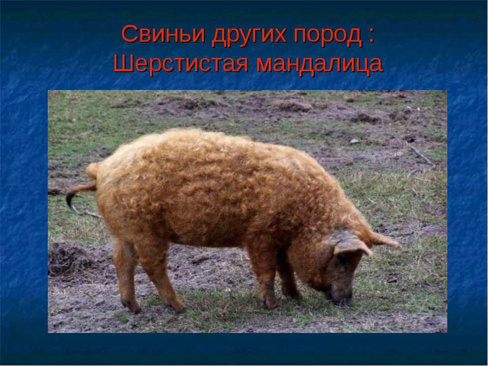 Свиньи других пород : Шерстистая мандалица