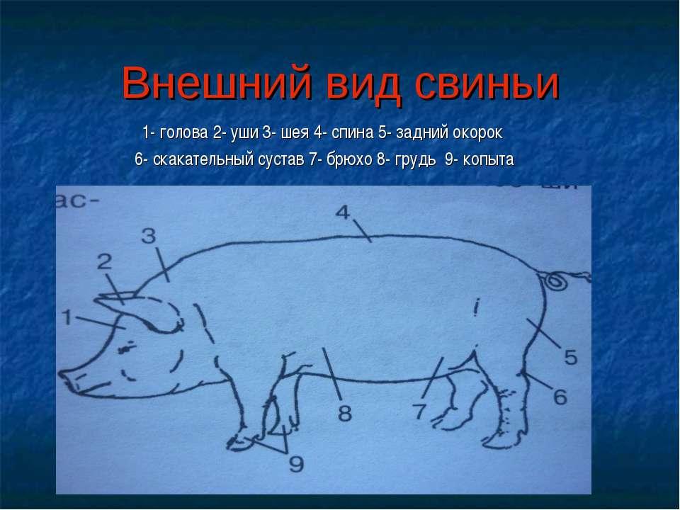 Внешний вид свиньи 1- голова 2- уши 3- шея 4- спина 5- задний окорок 6- скака...