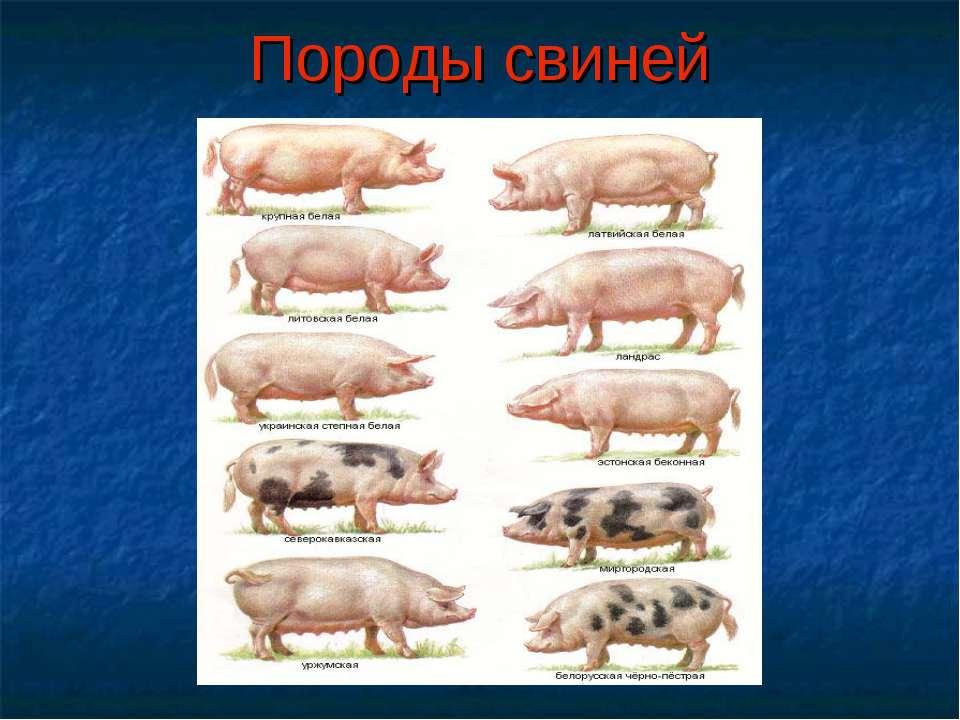 Породы свиней