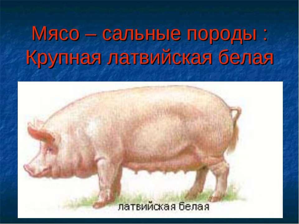 Мясо – сальные породы : Крупная латвийская белая