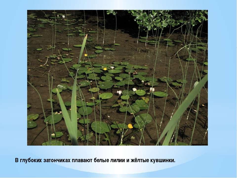 В глубоких затончиках плавают белые лилии и жёлтые кувшинки.