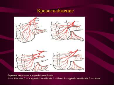 Кровоснабжение Варианты отхождения a. appendicis vermiformis 1 — a. ileocolic...