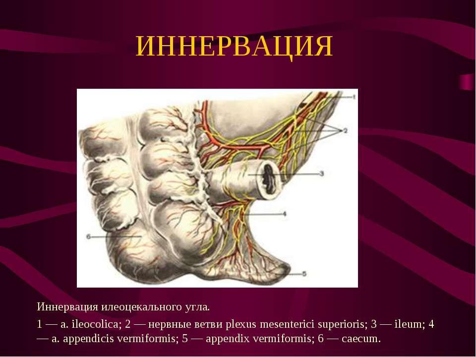 ИННЕРВАЦИЯ Иннервация илеоцекального угла. 1 — a. ileocolica; 2 — нервные вет...