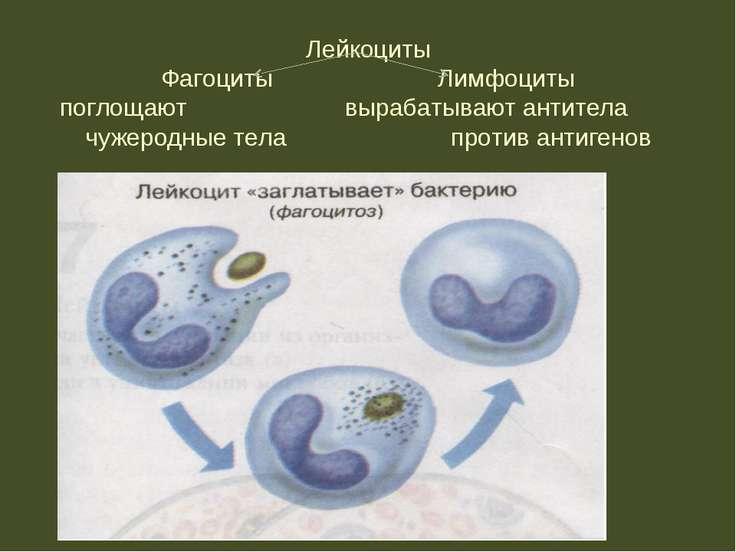 Лейкоциты Фагоциты Лимфоциты поглощают вырабатывают антитела чужеродные тела ...