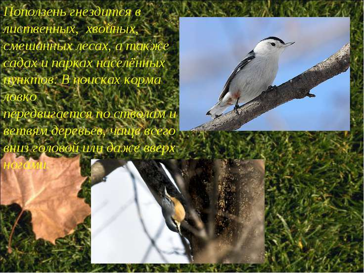 Поползень гнездится в лиственных, хвойных, смешанных лесах, а также садах и п...