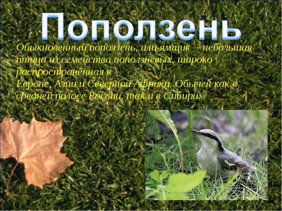 Обыкновенный поползень, или ямщик— небольшая птица из семейства поползневых, ...