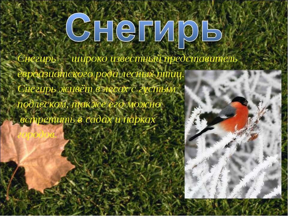 Снегирь — широко известный представитель евроазиатского рода лесных птиц. Сне...