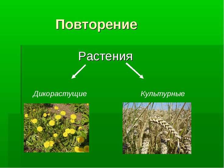 Повторение Растения Дикорастущие Культурные