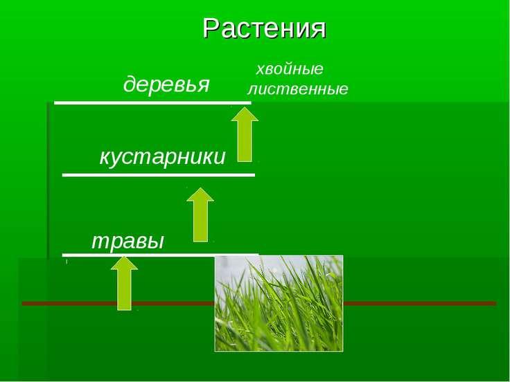 Растения травы кустарники деревья хвойные лиственные