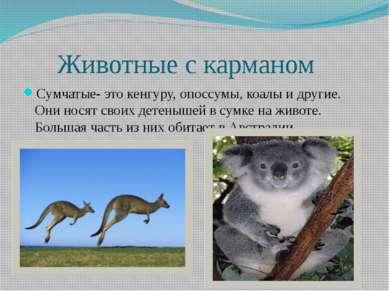 Животные с карманом Сумчатые- это кенгуру, опоссумы, коалы и другие. Они нося...
