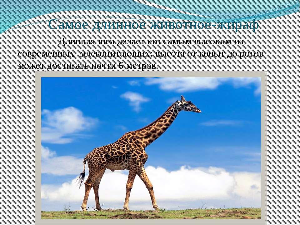 Самое длинное животное-жираф Длинная шея делает его самым высоким из современ...