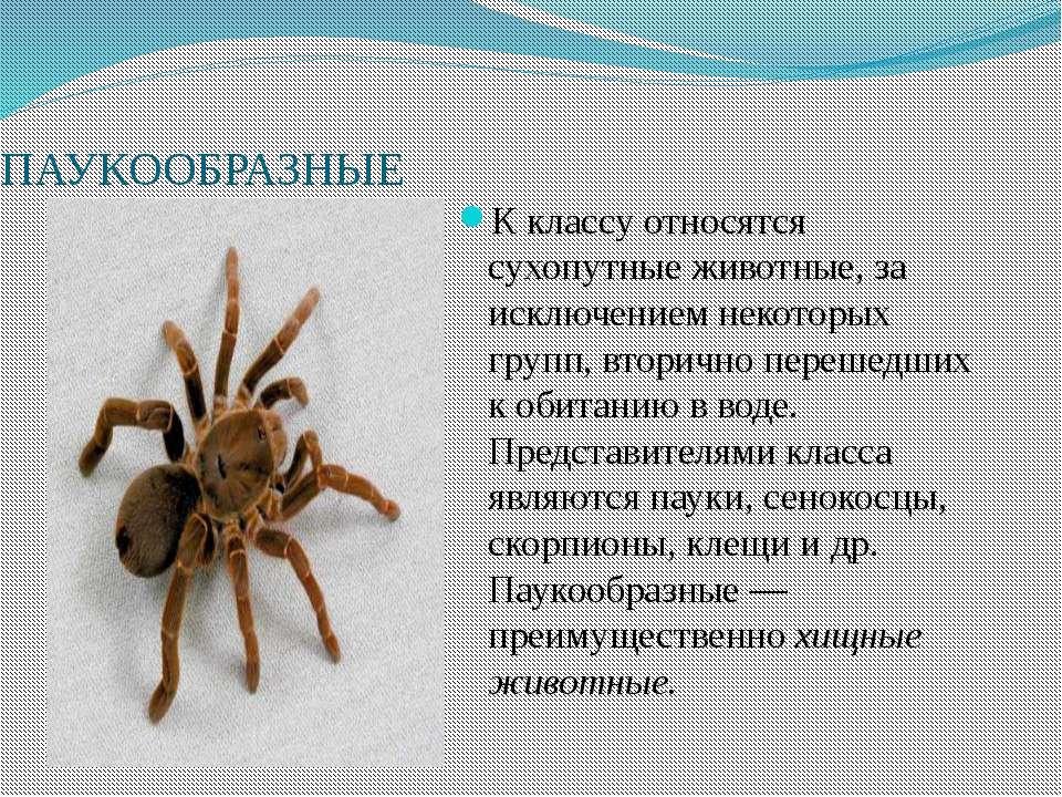 ПАУКООБРАЗНЫЕ К классу относятся сухопутные животные, за исключением некоторы...