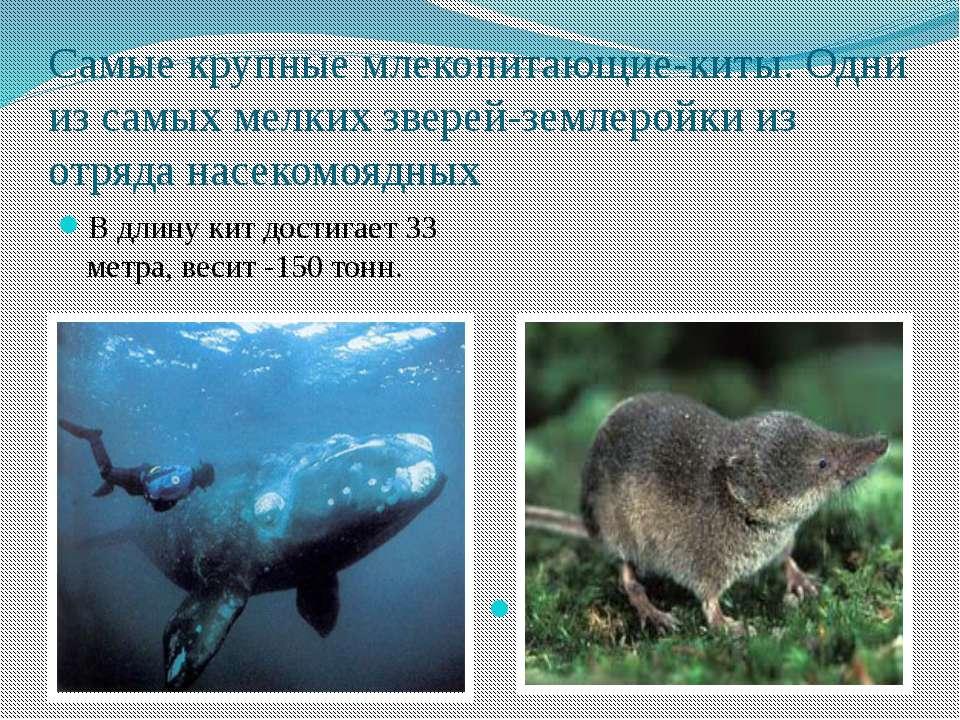 Самые крупные млекопитающие-киты. Одни из самых мелких зверей-землеройки из о...