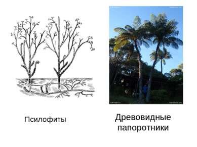 Псилофиты Древовидные папоротники