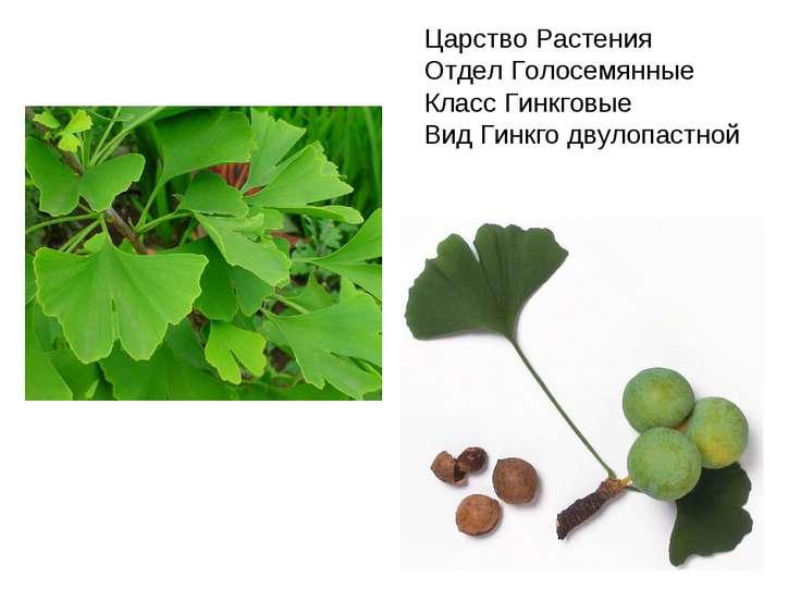 Царство Растения Отдел Голосемянные Класс Гинкговые Вид Гинкго двулопастной