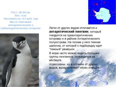 Легко от других видов отличается и антарктический пингвин, который гнездится ...
