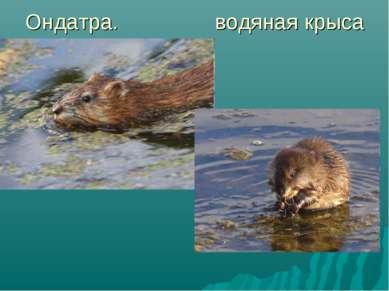 Ондатра. водяная крыса