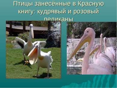 Птицы занесённые в Красную книгу: кудрявый и розовый пеликаны