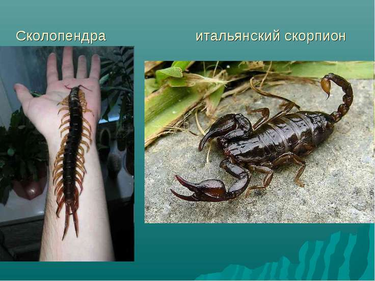 Сколопендра итальянский скорпион