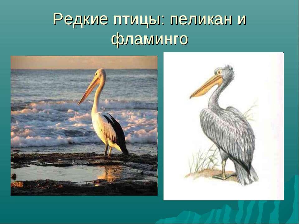 Редкие птицы: пеликан и фламинго