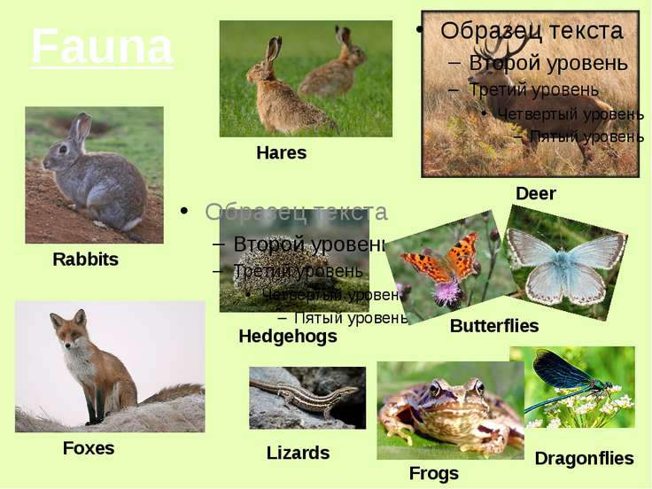 Fauna Hares Rabbits Deer Butterflies Frogs Dragonflies Hedgehogs Lizards Foxes