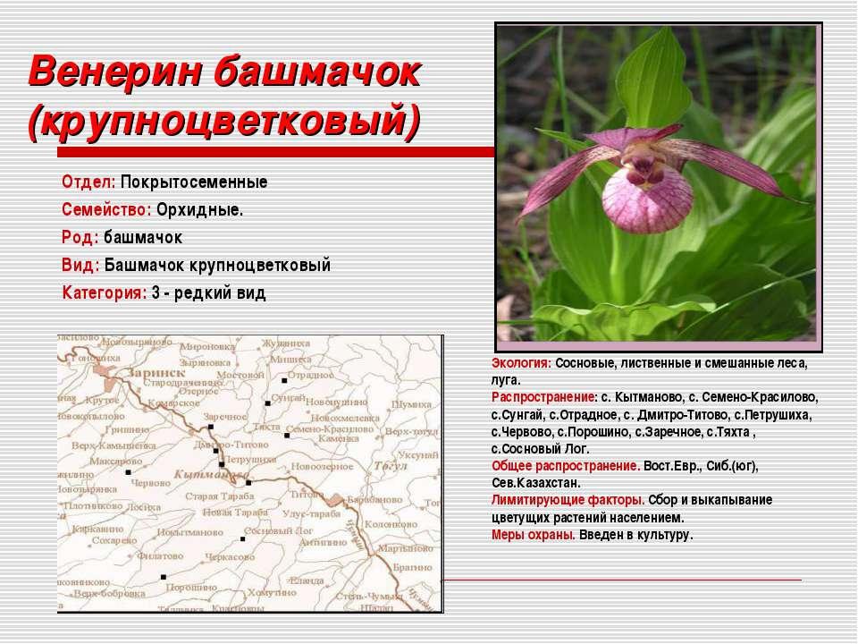 Венерин башмачок (крупноцветковый) Отдел: Покрытосеменные Семейство: Орхидные...
