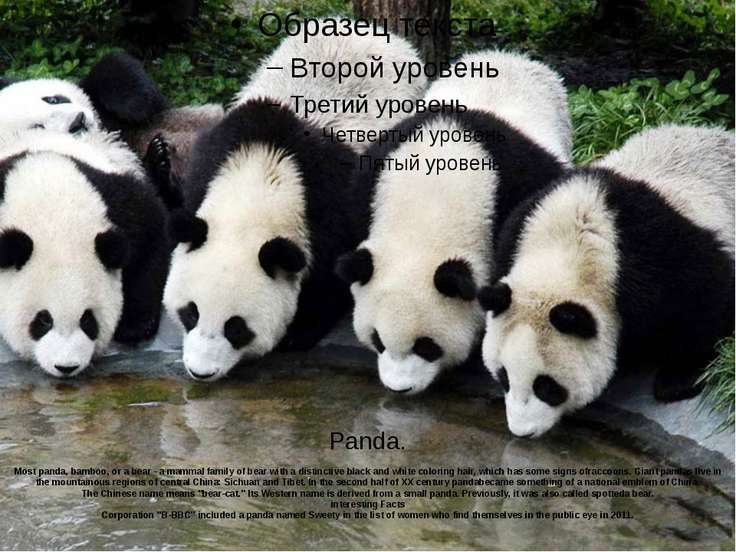 Panda. Most panda, bamboo, or a bear - a mammal family of bear with a distinc...