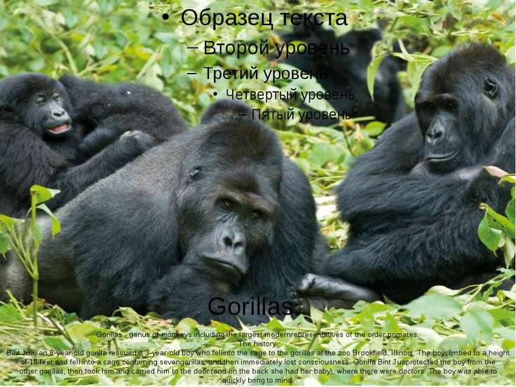 Gorillas. Gorillas - genus of monkeys including the largest modernrepresentat...