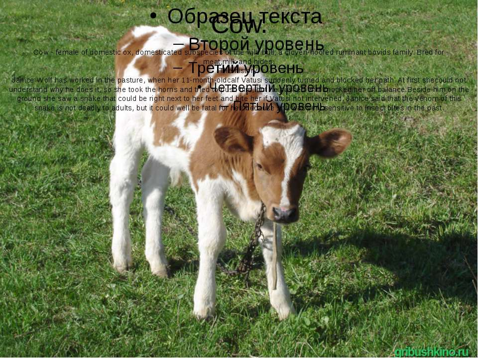 Cow. Cow - female of domestic ox, domesticated subspecies of the wild bull, a...