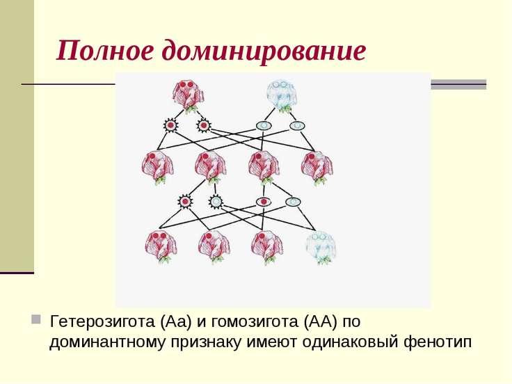 Полное доминирование Гетерозигота (Аа) и гомозигота (АА) по доминантному приз...