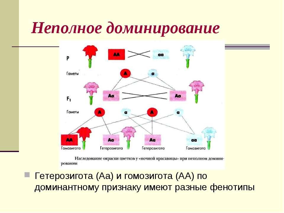 Неполное доминирование Гетерозигота (Аа) и гомозигота (АА) по доминантному пр...