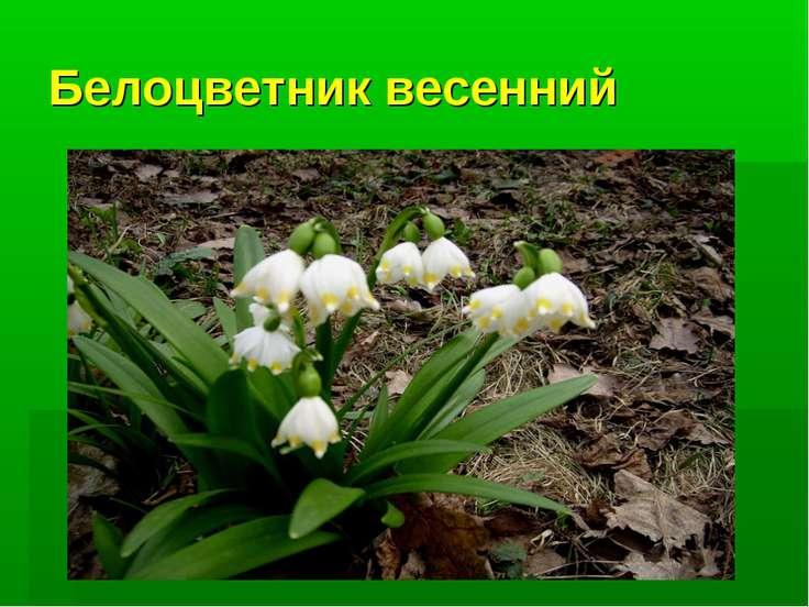 Белоцветник весенний
