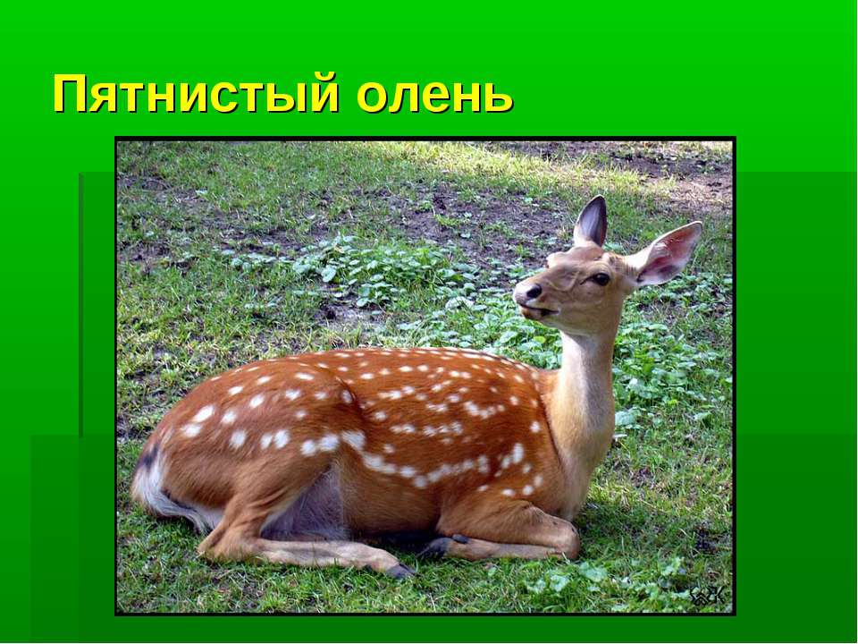 Пятнистый олень