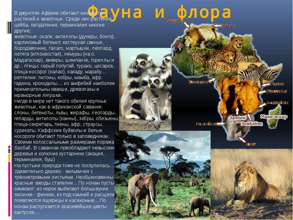 Фауна и флора В джунглях Африки обитают множество растений и животных. Среди ...