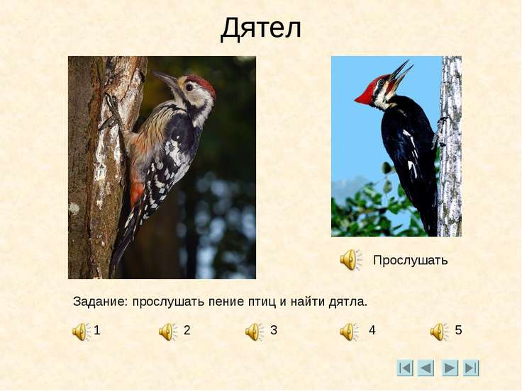 Дятел Прослушать Задание: прослушать пение птиц и найти дятла. 1 2 3 4 5