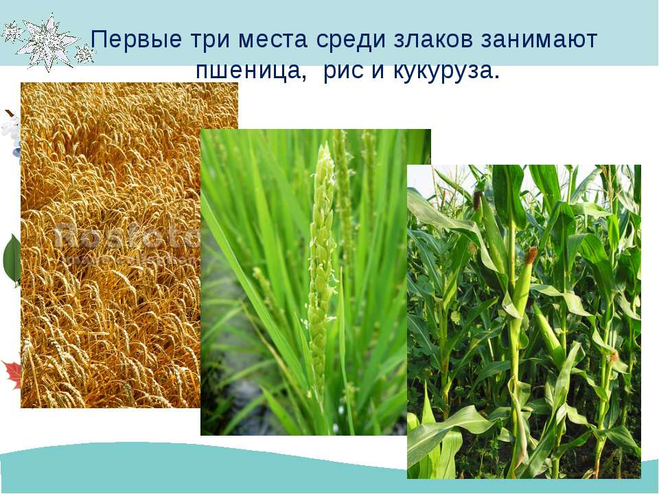 Первые три места среди злаков занимают пшеница, рис и кукуруза. *