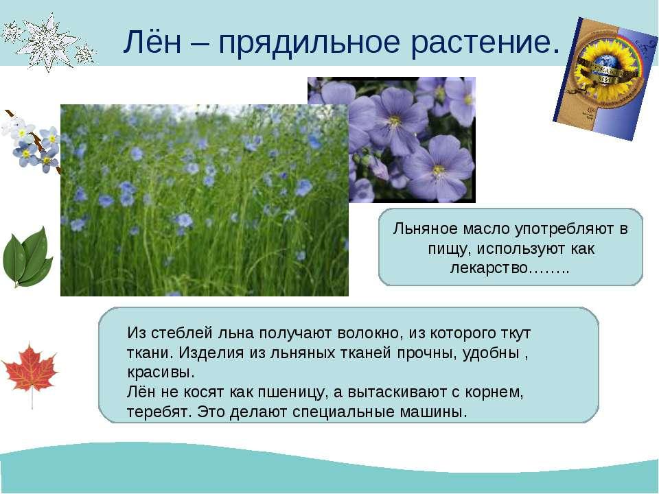 Лён – прядильное растение. Из стеблей льна получают волокно, из которого ткут...