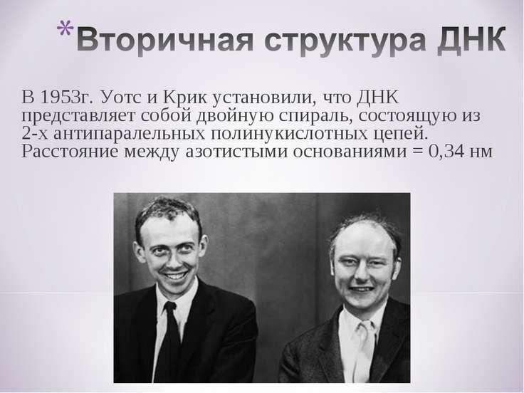 В 1953г. Уотс и Крик установили, что ДНК представляет собой двойную спираль, ...
