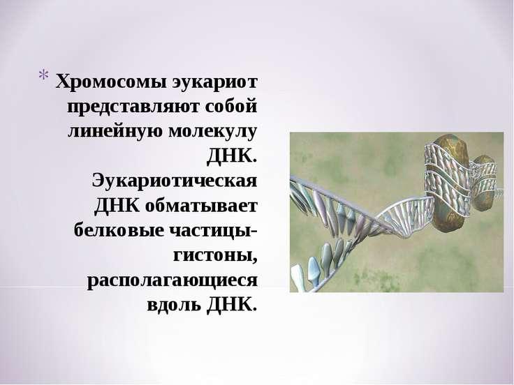 Хромосомы эукариот представляют собой линейную молекулу ДНК. Эукариотическая ...