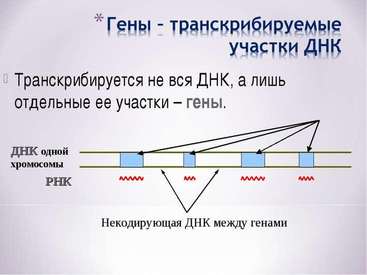 Транскрибируется не вся ДНК, а лишь отдельные ее участки – гены. ДНК одной хр...