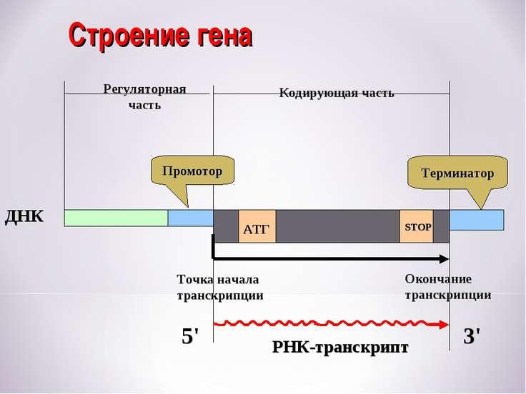 Строение гена Кодирующая часть АТГ STOP ДНК РНК-транскрипт Промотор Терминато...