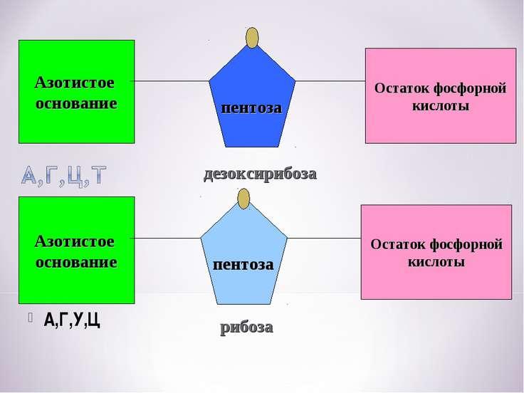Азотистое основание Остаток фосфорной кислоты пентоза Азотистое основание пен...