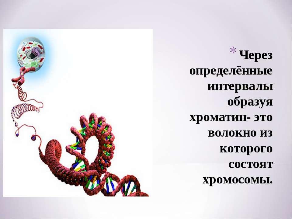 Через определённые интервалы образуя хроматин- это волокно из которого состоя...