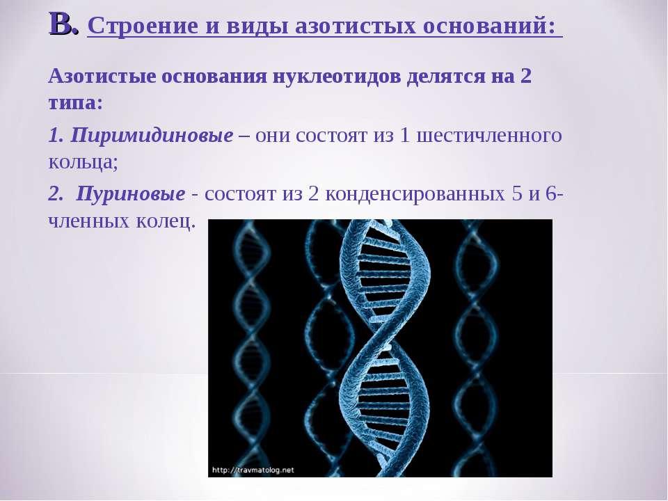 В. Строение и виды азотистых оснований: Азотистые основания нуклеотидов делят...