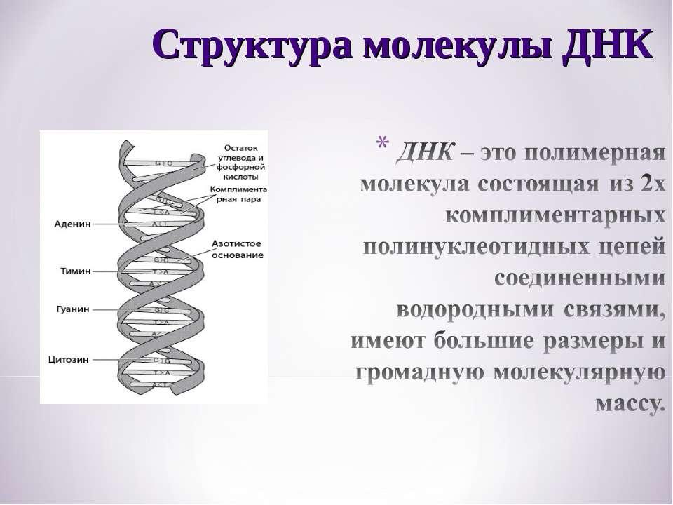 Структура молекулы ДНК
