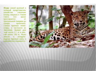 Ягуар самый крупный и сильный представитель семейства кошачьих (отряд хищных)...